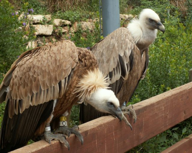 Endangered species: Griffon vultures